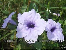 50 Fresh Minnieroot Waterkanon Ruellia Tuberosa Seeds