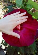 Hibiscus Moscheutos rouge framboise / red fuchsia, 15 graines seeds