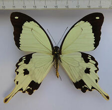 Papilionidae , Papilio dardanus M ex  Elfenbeinküste, Cote d` Ivoire  n353