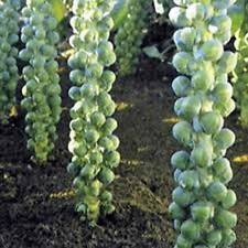 BRUSSEL SPROUTS SEED, LONG ISLAND, HEIRLOOM, ORGANIC, NON GMO, 25+ SEEDS, GARDEN