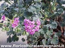 Pelargonium cortusifolium x P. echinatum
