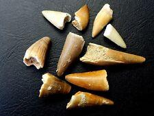 "1/2 "" - 1 1/4 "" Small Crocodile Teeth Moroccan Fossil 10 pcs"