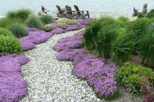 🐝🐝 Thymus Praecox - Thymian - Purpurteppich - Winterharter Bodendecker 🐝🐝