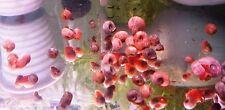 8 LUMACHE PLANOBARIUS CORNEUS COLORI MISTI ACQUA DOLCE lumaca acquario