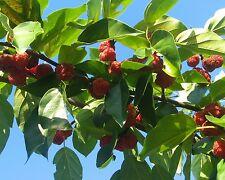 Seidenraupenbaum • 10 Samen/seeds • Cudrania tricuspidata • winterhart • essbar