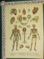 1906 PRINT ~ PHYSIOLOGY ANATOMY HUMAN SKELETON SKULL MUSCLES TONGUE VEINS TOOTH
