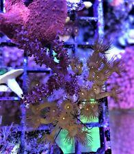 parazoanthus gracilis Yellow Polyp kenya tree on live rock  WYSIWYG coral