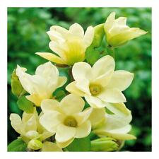 Magnolia denudata Yellow River-Magnolia  Plant in 3L pot