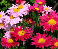 PYRETHRUM ROBINSON'S MIX Chrysanthemum Coccineum - 100 Seeds