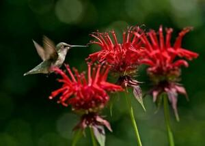 Plant Red Bee Balm Jacob Cline Perennial  Butterflies and Hummingbirds