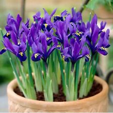 DWARF IRIS BULBS PIXIE RETICULATA SPRING FLOWERING GARDEN FLOWERS BULBS PLANTS