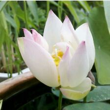 Bonsai White Lotus- Best Selling Lotus Seeds, High Germination, 8 seeds