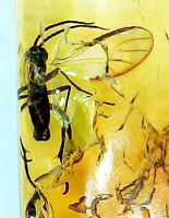 Baltic Amber w/Prehistoric Mosquito Inclusion! Comes w/4x Magnifying Top Case!