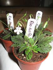 """Micro Mini Sinningia"""" muscicola """"Rio das Pedras"""" Seed Pod"""