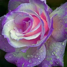 200 pcs Beautiful Rose Seeds Purple 'tulip' Bonsai Flower#A99