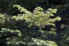 """Appalachian Mountain grown Eastern Hemlock Evergreen Starter 60"""" Seedling"""