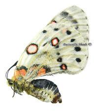 Unmounted Butterfly/Papilionidae - Parnassius apollonius aphrodite, F, Kazakh.