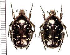 Cetoniinae:Protaetia orientalis sakaii  pair ,A1, unmounted,Japan,beetle