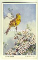 an0117 - A Yellow Hammer on Dog Rose in Bloom, Artist Winifred Austen - Postcard