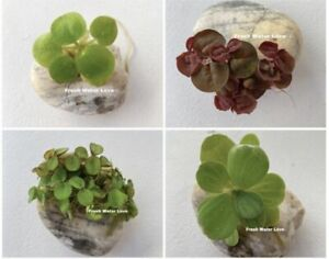 Floating Plants Combo Pack(Red Root, Water Lettuce, Amazon Frogbit,Water Sponges