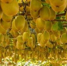 Sun golden kiwi fruits seeds Golden New Zealand 20 seeds