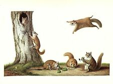 "1977 VINTAGE LAROUSSE ""EASTERN FLYING SQUIRREL"" ROCKY COLOR Art Print Lithograph"