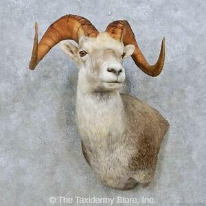 #15008 P+ | Stone Sheep Taxidermy Wall Pedestal Mount For Sale