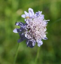 Field Scabious Flower Seeds Native Meadow Bee Insect Friendly Garden Perennial