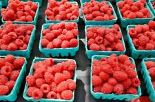 Live autumn britten everbearing red raspberry plants large & sweet