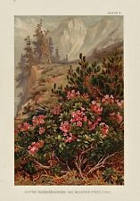 Alpine Mountain RHODODENDRONS Plant Picture Nat. Hist. Antique 1895 MATTED Print