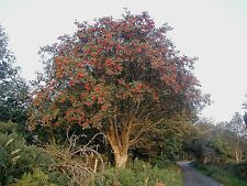 Sorbus aucuparia Rowan 30 Seeds Mountain Ash Deciduous Hardy Tree Bonsai UKFreeP