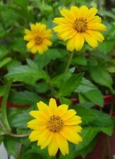 7 LIVE PLANTS YELLOW DOTS WEDELIA CREEPING SINGAPORE DAISY FLOWER VINES OXEYE