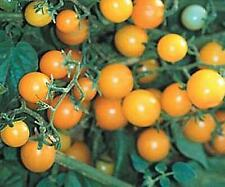Currant Yellow Tomato seed