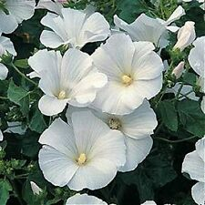 Rose Mallow- Montblanc- 50 Seeds - 50 % off sale
