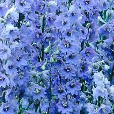 Delphinium Pacific Giants - Summer Skies - 50 seeds - Perennial