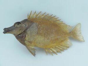 Foxface Rabbitfish Siganus vulpinus Fish Taxidermy Oddities Curio