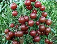 Heirloom 30 Swiss  Kumato Cherry Tomato Seeds  GROWN ORGANIC - Qld