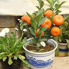 POP 50 PCS Delicious Orange Fruit Seeds Mini Potted Orange Tree Plant Fruit Seed
