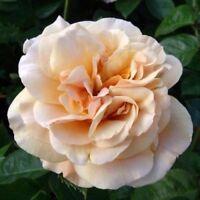 Rose Bare Root Plant 'My Darling Husband ' Floribunda Apricot sweet/spicy Scent