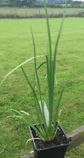 Iris chrysographes 'Black Beauty' in 7cm pot