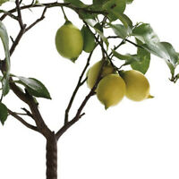 Lemon Tree, Bonsai suitable's Seeds SET G4B4