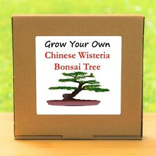 Grow Your Own Chinese Wisteria Bonsai Tree Kit - Windowsill Gardening Gift Set