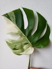 Variegated monstera albo borsigiana Half Moon leaf node cutting #11