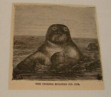 small 1883 magazine engraving ~ DUGONG HOLDING ITS CUB