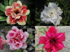 "4 Pcs Desert rose seed ""MIXED 4 TYPE"" Adenium Obesum #D069"