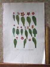 "Vintage Engraving,PRIMULA,C.1740,WEINMANN,Botanical,20x13.5"",Mezzotint"