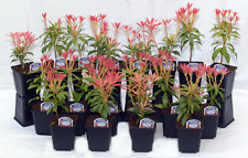 6 Pieris Forest Flame