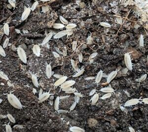 100 Dwarf White Isopods (Trichorhina tomentosa) -Live Insect Clean Up Crew