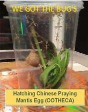 1 Praying Mantis Egg + Praying Mantis Habitat Kit new crystal clear Incubator