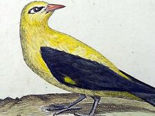 1794 ORIOLE Rémi WILLEMET Ornithologie copper engraving in fine hand color